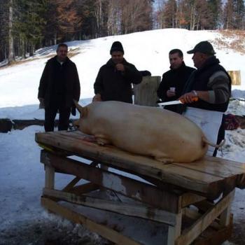 """Tradiție Ignat """"Tăierea porcului"""""""